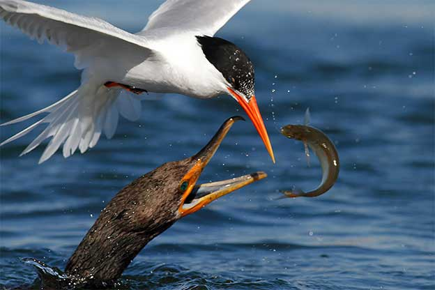 Incredible Photographs Of Birds Catching Fish