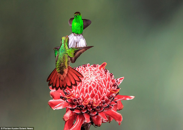 Incredible Images Capture Hummingbirds With Outstretched Wings