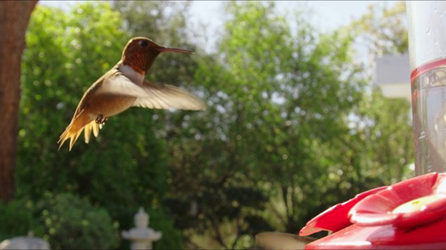 A Short Slow Motion Film Capturing The Movements Of Hummingbirds At A Feeder