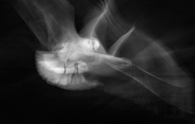 The Graceful Movement Of Birds In Flight Captured On Film