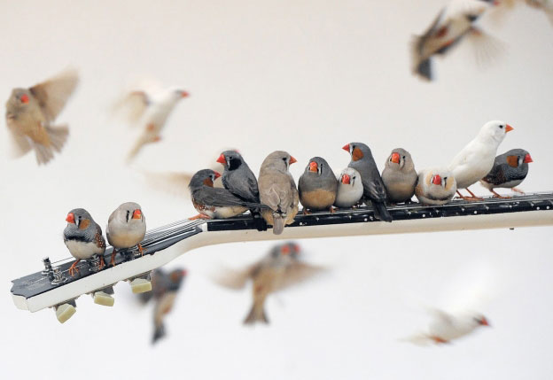 Zebra Finches Play Electric Guitars For Art Installation