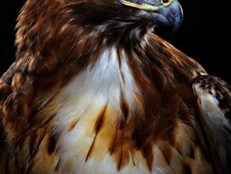 Bob Croslin's Portraits Of Injured Birds Photographed Like Models